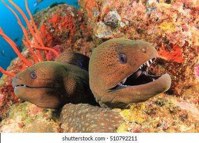 Pair Giant Moray Eels
