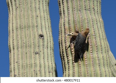 Pair of gila woodpeckers (Melanerpes uropygialis) taking turns feeding in a Saguaro Cactus