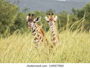 a pair of giraffe  hiding in tall grass