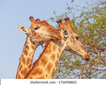 A pair of giraffes (Giraffa camelopardalis)  in the Kruger National Park in South Africa.