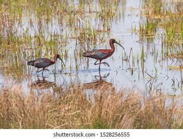 A Pair of Glossy Ibis in a Wetland Pond in Chincoteague National Wildlife Refuge in Virginia