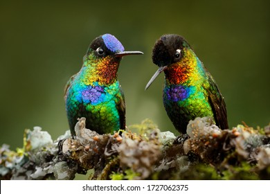 Pair of glossy shiny tinny bird. Fiery-throated Hummingbird, Panterpe insignis, colourful red bird sitting on branch. Mountain bright animal from Costa Rica. Red bright bird in the tropic forest.