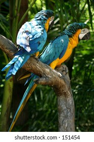 A pair of Golden Macaw's...