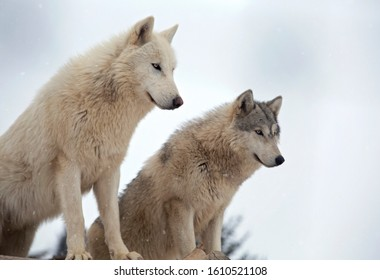 Pair of gray wolves, alert, with snow falling.  Shallow depth of field with focus on animal in foreground.  Captive animals
