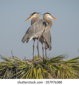 Pair of Great Blue Herons (Ardea herodias) perched on their nest at the top of a palm tree - Melbourne, Florida