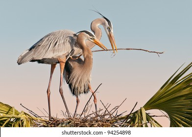 Pair of great blue herons build a nest at the Ritch Grissom Memorial Wetlands (often referred to as the Viera Wetlands) in Melbourne, Florida