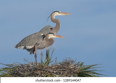 Pair of great blue herons standing on a palm tree nest at the Viera Wetlands against a clear blue sky in Melbourne, Florida