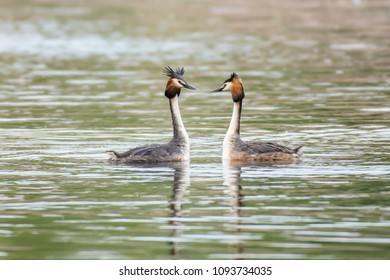 Pair of great crested grebes during mating season floating on lake surface and looking at each other.Stunning british wildlife, nature uk.Natural world.Waterbirds swimming in pond, springtime Uk.