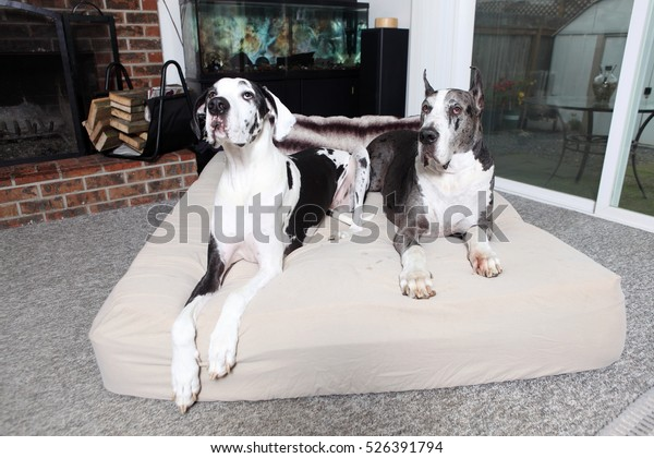 Pair Great Danes On Dog Bed Stock Photo (Edit Now) 526391794