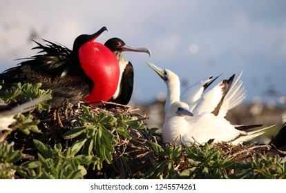 A pair of great frigate birds and a pair of red footed boobies nest on the same bush right next to each other exemplifying coexistence in Hawaii.