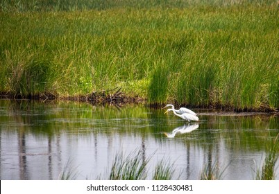Pair of great white egret reflected in saltwater marsh as they hunt food.