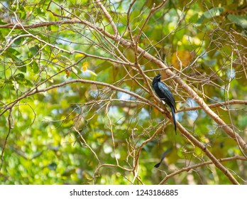 Pair of Greater Racket-tailed Drongo, side view show the crest of curled feather, on perch looking in different direction. Pair of Greater Racket-tailed Drongo off Thailand.