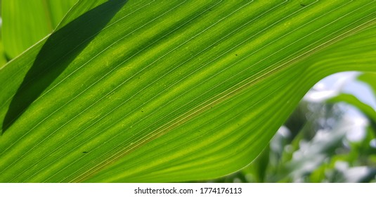 A pair of green corn leaves in the garden (bottom side).