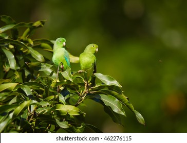 Pair of Green-rumped Parrotlet, Forpus passerinus viridissimus, perched on top of bush against green background, Tobago island. Trinidad and Tobago.