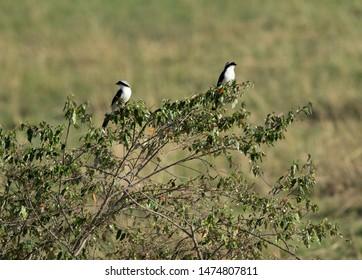 A pair of Grey-backed fiscal shrike perched on bushes, Masai Mara, Kenya