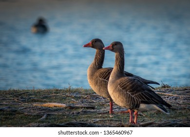 A pair of greylag geese standing near the water