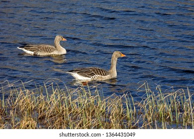 A pair of greylag geese swimming on a small lake. Seen in southern Sweden.