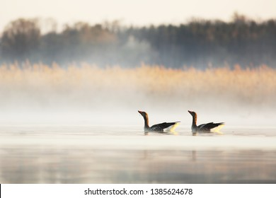 Pair of greylag goose dancing on surface