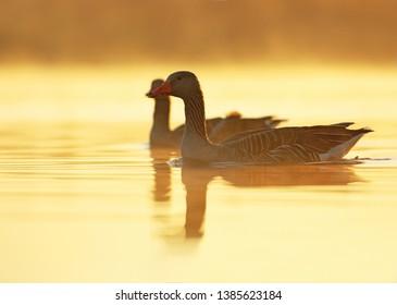 Pair of greylag goose inside morning fog
