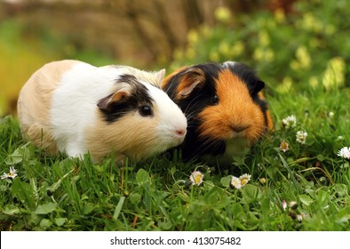 Pair of guinea pigs