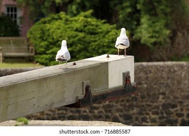 Pair of gulls on a beam