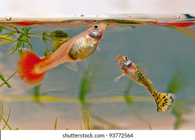 A pair of guppies. Male and female.