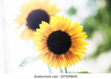 A pair of happy sunflowers dancing in the middle of a summers day.