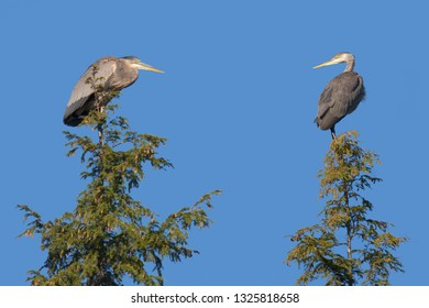 A pair of herons look at each other while sitting on top of two pine trees in a  blue sky.
