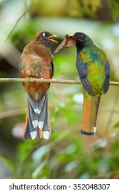 Pair of high altitude Masked Trogon Trogon personatus  in cloud forest of Ecuador. Male offering big moth in its beak as present for female, preched on horizontal twig. Blurry forest as background.