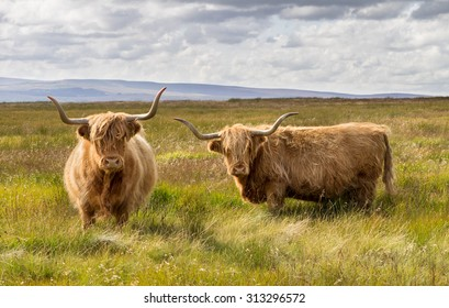 Pair of Highland cattle in field in the Yorkshire Dales.