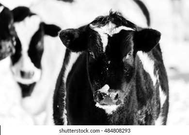 A pair of holstein calves looking with interest in a B&W photo.