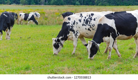 Pair of Holstein Friesians dairy cows grazing in a meadow.  These cows are known as the world's highest production dairy animals.
