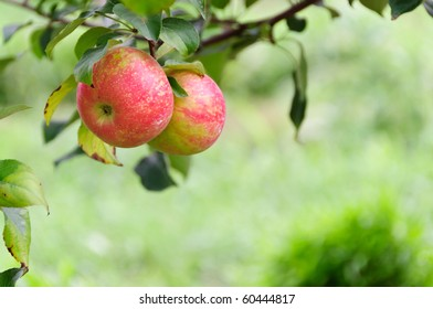 A pair of honeycrisp apples in front of a field in horizontal