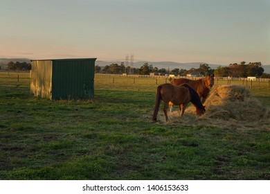 Pair of horses basking in the setting sunshine as they feed on a bale of hay in Garfield, in rural Victoria, Australia.