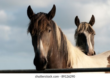 pair of horses illuminated by the light of the sunset in Cornwall