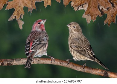 A pair of house finches are sitting together during a rain storm.
