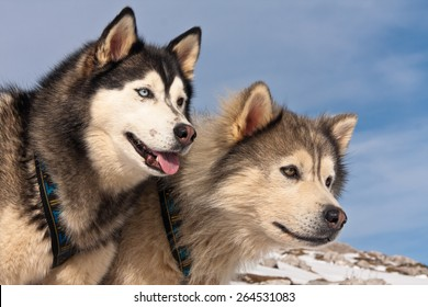 A pair of Huskies on mountain against blue sky