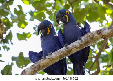 Pair of Hyacinth macaws perching together on a branch, Pantanal, Brazil