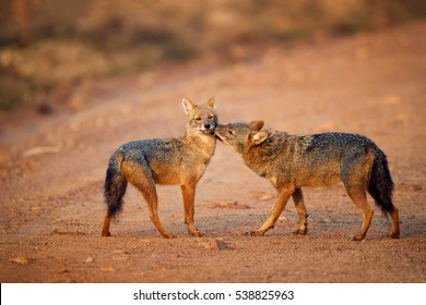 Pair of Indian jackals, Canis aureus indicus, male in greeting pose. Jackals on dusty road in colorful light. Jackals in breeding season.  Wilpattu, Sri Lanka.