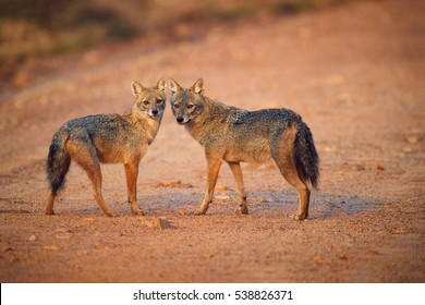 Pair of Indian jackals, Canis aureus indicus. Jackals on dusty road in colorful light, staring directly at camera.  Jackals in breeding season. Wilpattu, Sri Lanka.