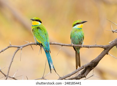 Pair of inquisitive swallow tailed bee eaters, perched on a branch