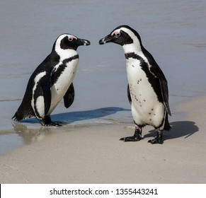 A pair of Jackass Penguins or African penguins at the water's edge