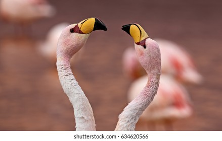 Pair of James Flamingo (Phoenicoparrus jamesi) at Laguna Colorada (Bolivia)