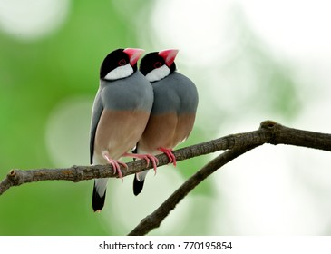 Pair of Java Sparrow (Lonchura oryzivora) beautiful grey birds with pink legs and faces perching together on branch in sweet moments