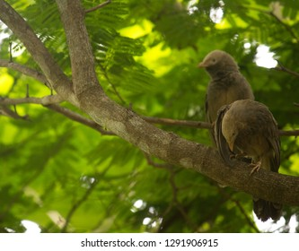 A pair of jungle babblers (Argya striata) resting on a tree