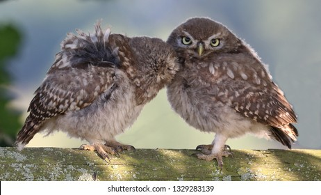 Pair of juvenile Little Owls on wooden fence one grooming the other