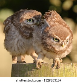 Pair of juvenile Little Owls on fence post one about to jump off