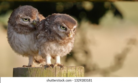 Pair of juvenile Little Owls on fence post