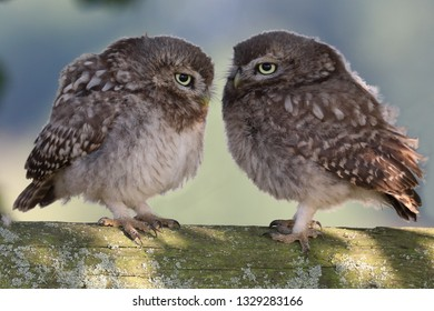 Pair of juvenile Little Owls standing together on wooden fence