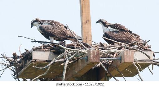 A pair of juvenile ospreys (Pandion haliaetus) in nest on wooden platform